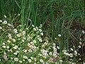 Starr-090513-7548-Erigeron karvinskianus-flowers-Polipoli-Maui (24836747932).jpg