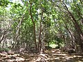 Starr-090707-2364-Pithecellobium dulce-thicket-Olowalu-Maui (24673482990).jpg