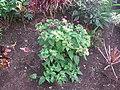 Starr-090730-3405-Mirabilis jalapa-flowering habit-Honolulu Airport-Oahu (24340104914).jpg