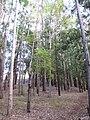 Starr-091029-8700-Fraxinus uhdei-fall foliage-Olinda-Maui (24356571904).jpg