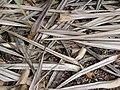 Starr-091104-0707-Pandanus vandermeeschii-leaves on ground-Kahanu Gardens NTBG Kaeleku Hana-Maui (24987293425).jpg
