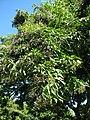 Starr-091104-0874-Vitex parviflora-fruit and leaves-Kahanu Gardens NTBG Kaeleku Hana-Maui (24620131219).jpg