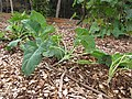 Starr-101030-9380-Brassica oleracea var gongylodes-Early White Vienna habit in vegetable garden-Olinda-Maui (24962861421).jpg