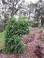 Starr-110217-1516-Solanum muricatum-fruiting habit-Olinda-Maui (24958285332).jpg