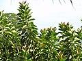 Starr-110330-3876-Ficus elastica-leaves-Garden of Eden Keanae-Maui (24454007103).jpg