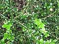 Starr-110331-4543-Buxus sp-leaves-Shibuya Farm Kula-Maui (24714208409).jpg