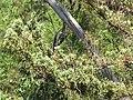 Starr-111012-1058-Juniperus bermudiana-needles-Kahana-Maui (25026024391).jpg