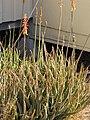 Starr-121218-1013-Aloe massawana-flowering habit-Honokanaia-Kahoolawe (24830041469).jpg