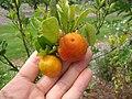 Starr-130504-4395-Citrofortunella microcarpa-fruit-Hawea Pl Olinda-Maui (24914994340).jpg