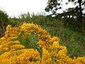 Starr-140930-2071-Solidago canadensis-flowers-Keokea-Maui (24879123539).jpg