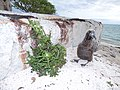 Starr-150403-0982-Sonchus oleraceus-by pillbox with Laysan Albatross chick-Southeast Eastern Island-Midway Atoll (24646749264).jpg