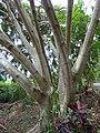 Starr-150811-0606-Ficus benjamina-trunk-Enchanting Floral Gardens of Kula-Maui (25202795601).jpg