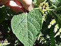 Starr-170224-0953-Physalis peruviana-leaf flower-Hawea Pl Olinda-Maui (33340754696).jpg