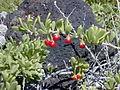 Starr 001219-0093 Lycium sandwicense.jpg