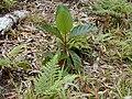 Starr 020501-0061 Cinchona pubescens.jpg
