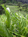 Starr 040713-0105 Hedychium coronarium.jpg