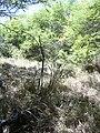 Starr 040902-0015 Prosopis pallida.jpg