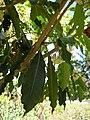 Starr 050216-4059 Pittosporum undulatum.jpg