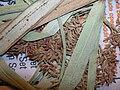 Starr 050427-1021 Cyperus javanicus.jpg