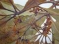 Starr 050729-3149 Pittosporum undulatum.jpg