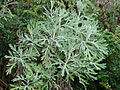 Starr 070208-4349 Artemisia australis.jpg