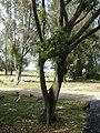 Starr 080531-4986 Ficus benjamina.jpg