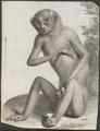 Stenops gracilis - 1734-1765 - Print - Iconographia Zoologica - Special Collections University of Amsterdam - UBA01 IZ19700189.tif