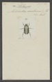 Stethaspis - Print - Iconographia Zoologica - Special Collections University of Amsterdam - UBAINV0274 020 04 0003.tif