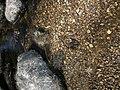Stranded Mussel (5230034546).jpg