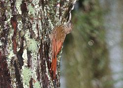 Streak-headed Woodcreeper 2496255452.jpg