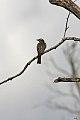 Streaked Flycatcher (Myiodynastes maculatus) (8077699821).jpg
