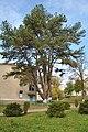 Strusiv-park-sosna-avstriyska-14101964.jpg