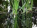 Suchbild Frosch in Teich Juni 2012.JPG