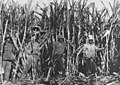 Sugarcane workers in the canefields in the Bauple District Queensland circa 1920.jpg