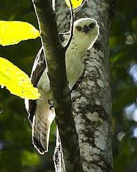 Sulawesi-hawk eagle