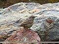 Sulphur-bellied Warbler (Phylloscopus griseolus) (28475463003).jpg