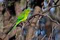 Superb Parrot (Polytelis swainsonii) immature male (14563517302).jpg