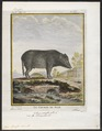 Sus scrofa domestica - 1700-1880 - Print - Iconographia Zoologica - Special Collections University of Amsterdam - UBA01 IZ21900139.tif
