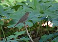Swainson's Warbler (33741699244).jpg