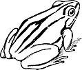 Swamp Tree Frog-TSF 0044.jpg
