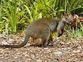 Swamp Wallaby and Joey Lisarow.jpg