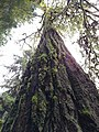 Sylvia (tree) in January 2019 05.jpg