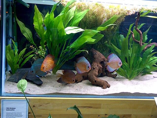 File Symphysodon Aequifasciatus Discus Fish Jpg Wikimedia Commons