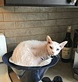 Tabou chat Peterbald type «Brush».jpg