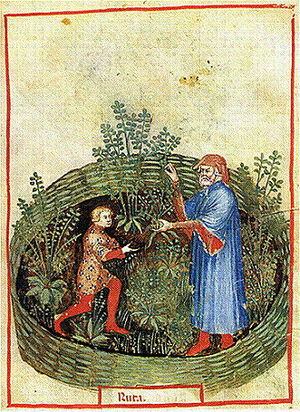 Ruta graveolens - Illustration in the Tacuinum Sanitatis