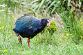 Takahē with antenna.jpg
