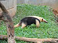 Tamandua tetradactyla - Jardim Zoológico de Brasília - DSC09859.JPG