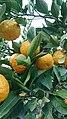 Tangerines (Lankaran, 2019).jpg