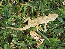 Tarentola mauritanica (wallgecko), Cala de Mijas, Spain.jpg