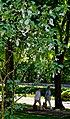 Taschentuchbaum im Kurpark Bad Mergentheim. 01.jpg